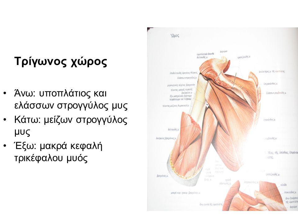 Τρίγωνος χώρος Άνω: υποπλάτιος και ελάσσων στρογγύλος μυς Κάτω: μείζων στρογγύλος μυς Έξω: μακρά κεφαλή τρικέφαλου μυός
