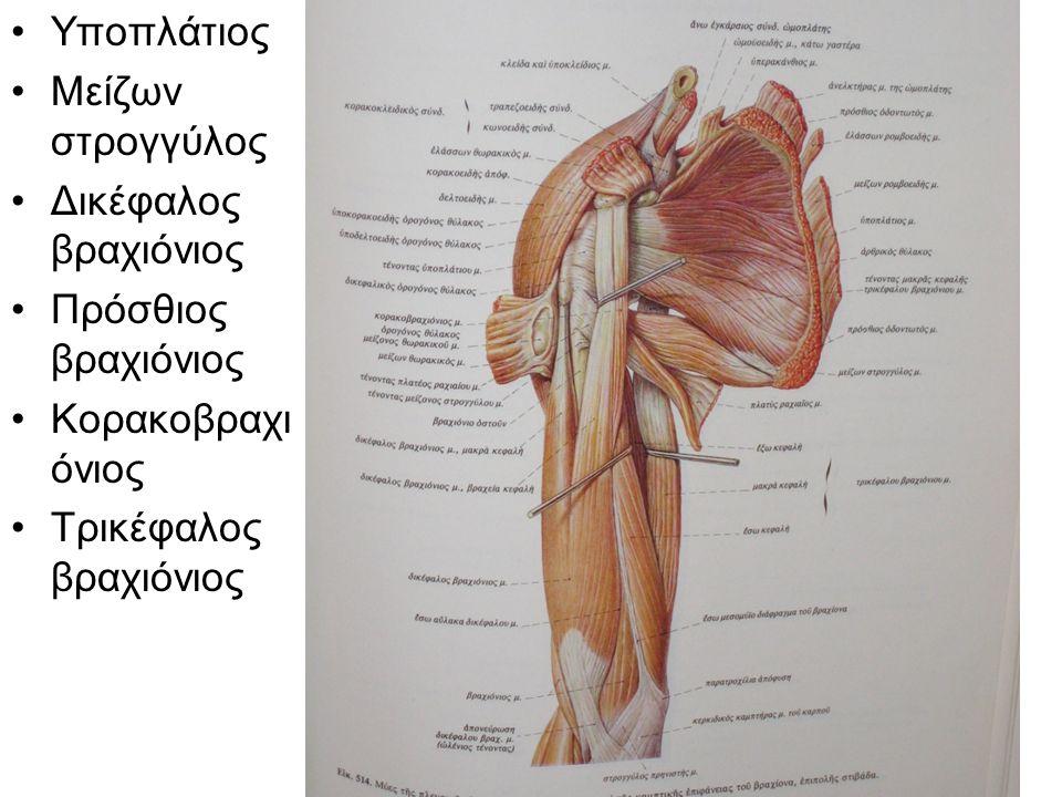 Υποπλάτιος Μείζων στρογγύλος Δικέφαλος βραχιόνιος Πρόσθιος βραχιόνιος Κορακοβραχι όνιος Τρικέφαλος βραχιόνιος