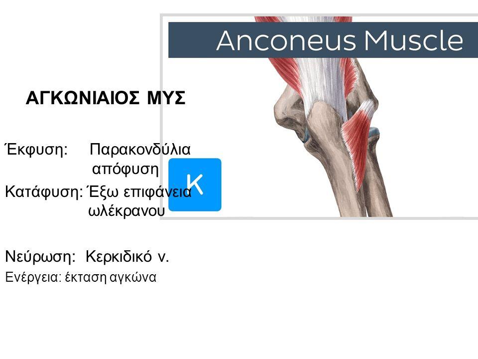 ΑΓΚΩΝΙΑΙΟΣ ΜΥΣ Έκφυση: Παρακονδύλια απόφυση Κατάφυση: Έξω επιφάνεια ωλέκρανου Νεύρωση: Κερκιδικό ν. Ενέργεια: έκταση αγκώνα