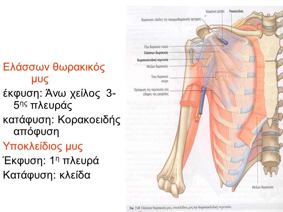 Ελάσσων θωρακικός μυς έκφυση: Άνω χείλος 3- 5 ης πλευράς κατάφυση: Κορακοειδής απόφυση Υποκλείδιος μυς Έκφυση: 1 η πλευρά Κατάφυση: κλείδα
