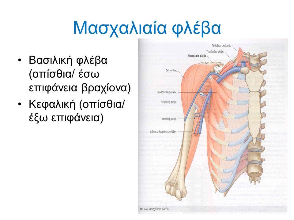Μασχαλιαία φλέβα Βασιλική φλέβα (οπίσθια/ έσω επιφάνεια βραχίονα) Κεφαλική (οπίσθια/ έξω επιφάνεια)