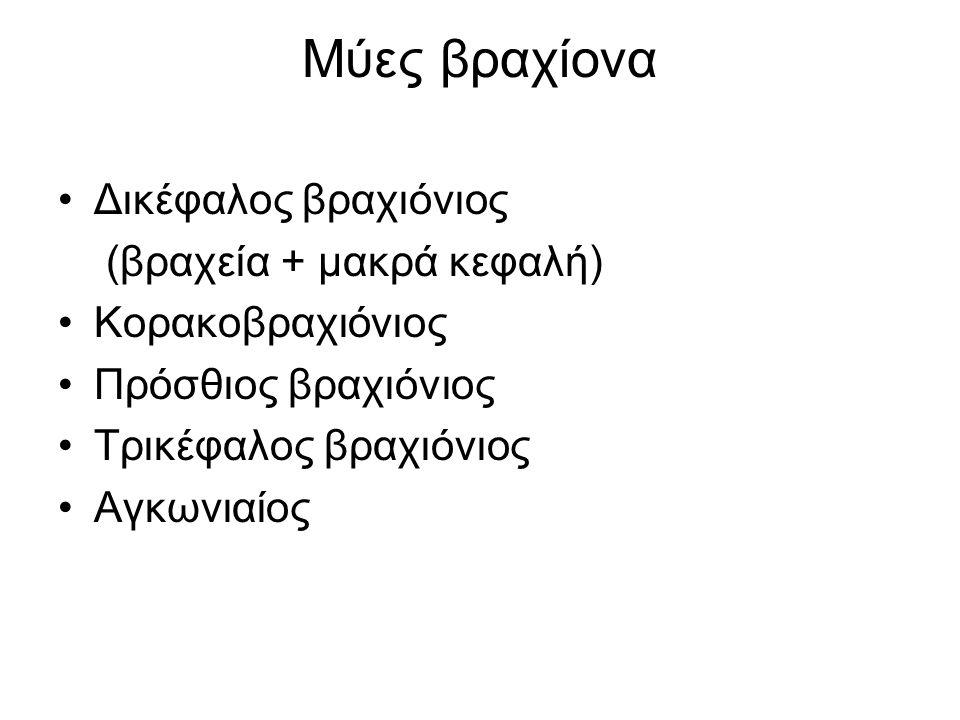 Μύες βραχίονα Δικέφαλος βραχιόνιος (βραχεία + μακρά κεφαλή) Κορακοβραχιόνιος Πρόσθιος βραχιόνιος Τρικέφαλος βραχιόνιος Αγκωνιαίος