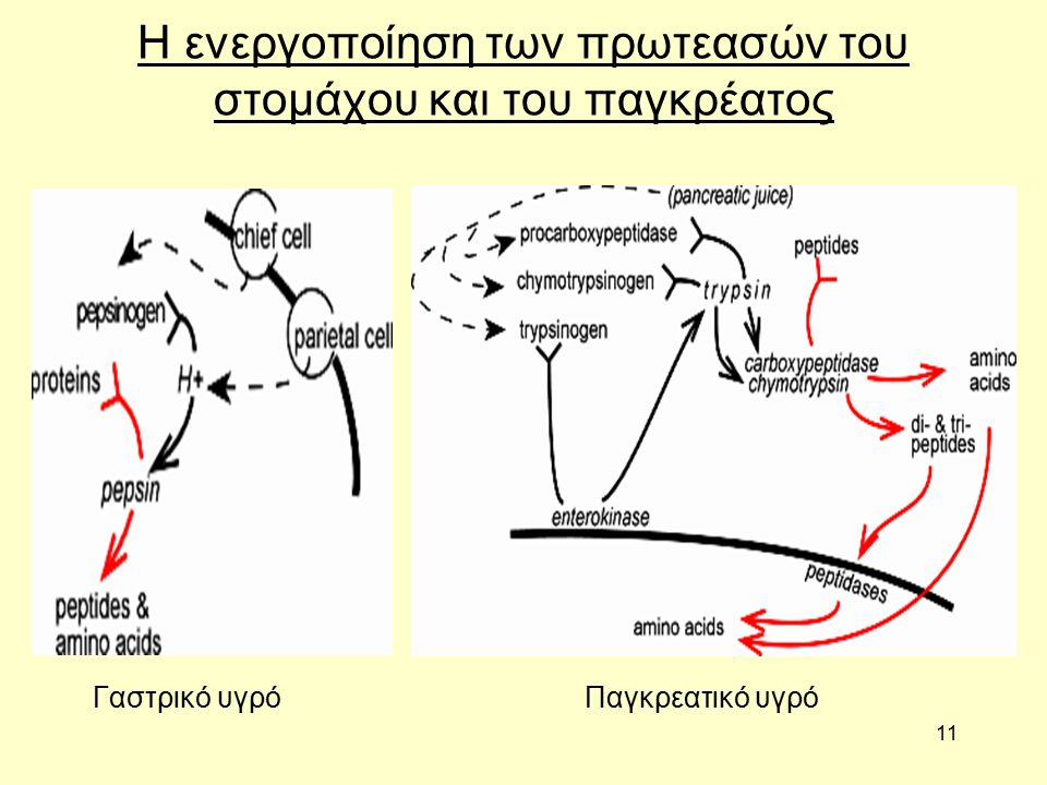 11 Η ενεργοποίηση των πρωτεασών του στομάχου και του παγκρέατος Γαστρικό υγρόΠαγκρεατικό υγρό