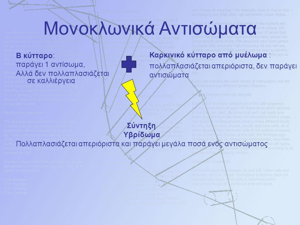 Μονοκλωνικά Αντισώματα Β κύτταρο: παράγει 1 αντίσωμα, Αλλά δεν πολλαπλασιάζεται σε καλλιέργεια Σύντηξη Υβρίδωμα Πολλαπλασιάζεται απεριόριστα και παράγει μεγάλα ποσά ενός αντισώματος Καρκινικό κύτταρο από μυέλωμα : πολλαπλασιάζεται απεριόριστα, δεν παράγει αντισώματα