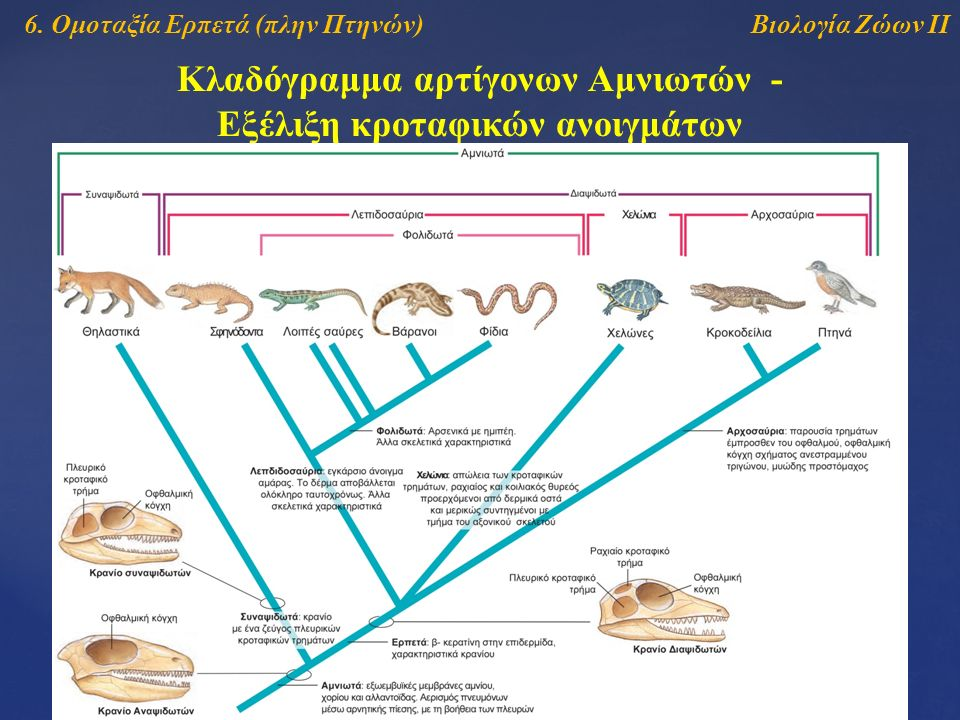Βιολογία Ζώων ΙΙ Κλαδόγραμμα αρτίγονων Αμνιωτών - Εξέλιξη κροταφικών ανοιγμάτων 6. Ομοταξία Ερπετά (πλην Πτηνών)