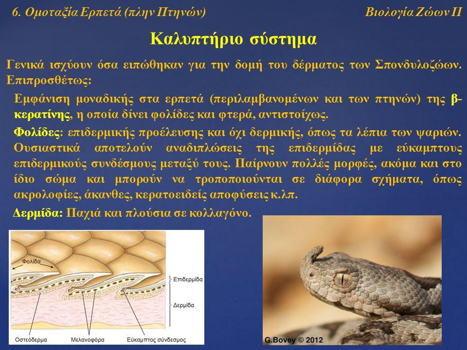 Βιολογία Ζώων ΙΙ Καλυπτήριο σύστημα 6. Ομοταξία Ερπετά (πλην Πτηνών) Γενικά ισχύουν όσα ειπώθηκαν για την δομή του δέρματος των Σπονδυλοζώων. Επιπροσθ