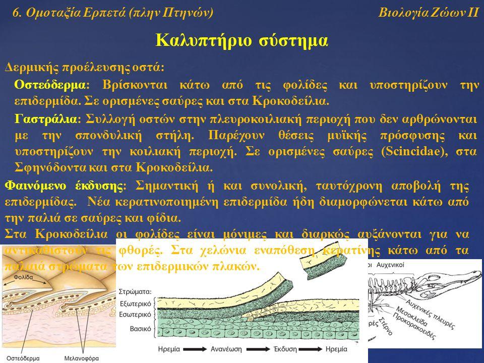 Βιολογία Ζώων ΙΙ Καλυπτήριο σύστημα 6. Ομοταξία Ερπετά (πλην Πτηνών) Δερμικής προέλευσης οστά: Γαστράλια: Συλλογή οστών στην πλευροκοιλιακή περιοχή πο