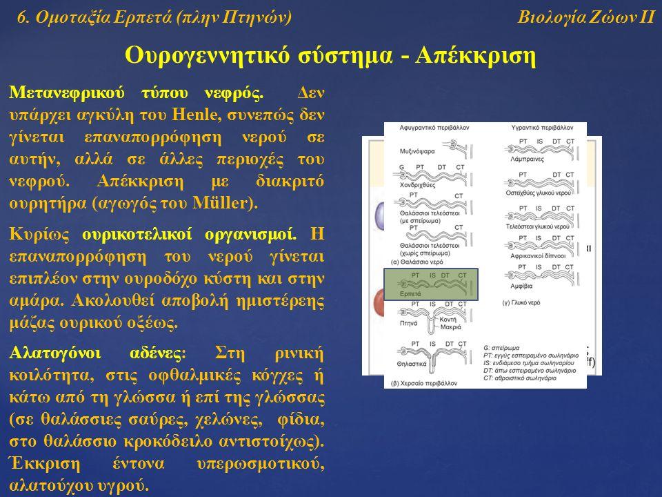 Βιολογία Ζώων ΙΙ Ουρογεννητικό σύστημα - Απέκκριση 6. Ομοταξία Ερπετά (πλην Πτηνών) Μετανεφρικού τύπου νεφρός. Δεν υπάρχει αγκύλη του Henle, συνεπώς δ
