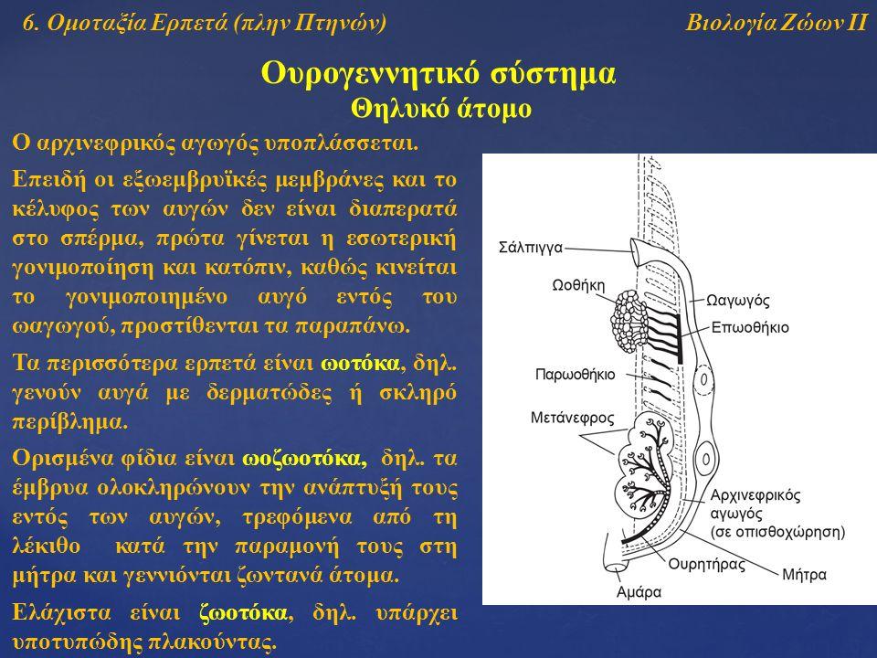 Βιολογία Ζώων ΙΙ Ουρογεννητικό σύστημα 6. Ομοταξία Ερπετά (πλην Πτηνών) Θηλυκό άτομο Ο αρχινεφρικός αγωγός υποπλάσσεται. Επειδή οι εξωεμβρυϊκές μεμβρά