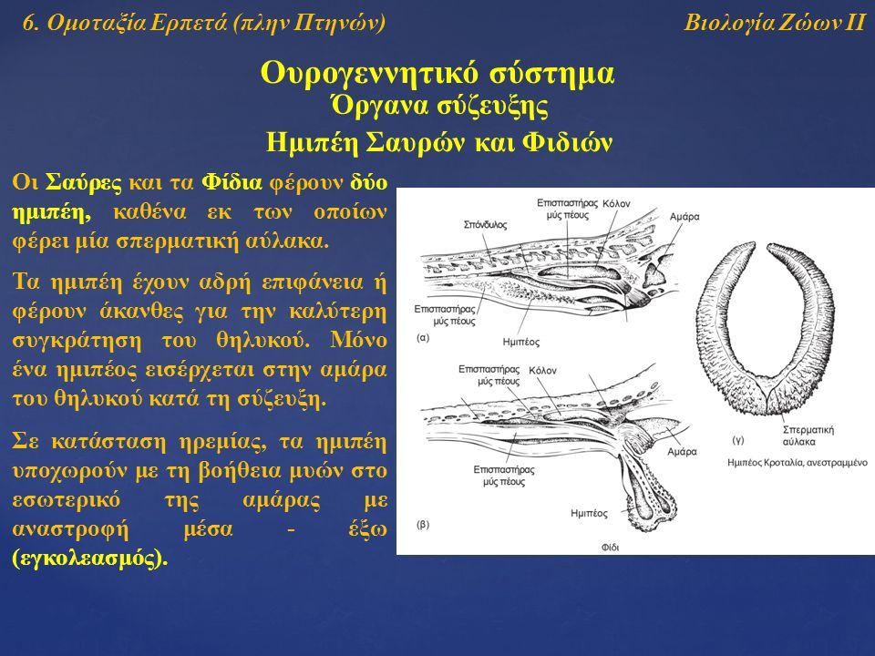 Βιολογία Ζώων ΙΙ Ουρογεννητικό σύστημα 6. Ομοταξία Ερπετά (πλην Πτηνών) Όργανα σύζευξης Ημιπέη Σαυρών και Φιδιών Οι Σαύρες και τα Φίδια φέρουν δύο ημι