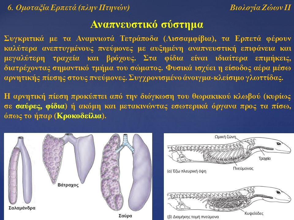 Βιολογία Ζώων ΙΙ Αναπνευστικό σύστημα 6. Ομοταξία Ερπετά (πλην Πτηνών) Συγκριτικά με τα Αναμνιωτά Τετράποδα (Λισσαμφίβια), τα Ερπετά φέρουν καλύτερα α