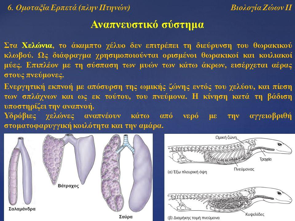 Βιολογία Ζώων ΙΙ Αναπνευστικό σύστημα 6. Ομοταξία Ερπετά (πλην Πτηνών) Στα Χελώνια, το άκαμπτο χέλυο δεν επιτρέπει τη διεύρυνση του θωρακικού κλωβού.