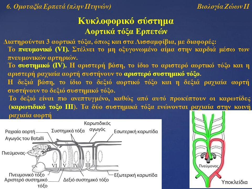 Βιολογία Ζώων ΙΙ Κυκλοφορικό σύστημα Αορτικά τόξα Ερπετών Διατηρούνται 3 αορτικά τόξα, όπως και στα Λισσαμφίβια, με διαφορές: To πνευμονικό (VI). Στέλ