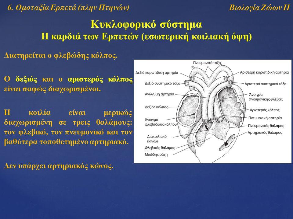Βιολογία Ζώων ΙΙ Κυκλοφορικό σύστημα Η καρδιά των Ερπετών (εσωτερική κοιλιακή όψη) Διατηρείται ο φλεβώδης κόλπος. Ο δεξιός και ο αριστερός κόλπος είνα