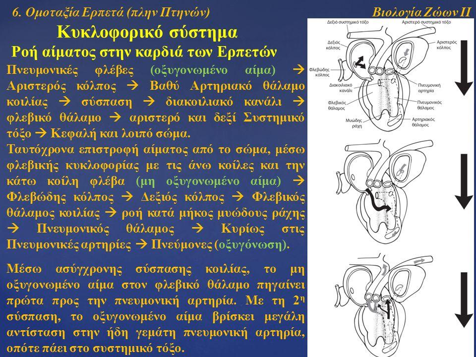 Βιολογία Ζώων ΙΙ Κυκλοφορικό σύστημα Ροή αίματος στην καρδιά των Ερπετών Πνευμονικές φλέβες (οξυγονωμένο αίμα)  Αριστερός κόλπος  Βαθύ Αρτηριακό θάλ