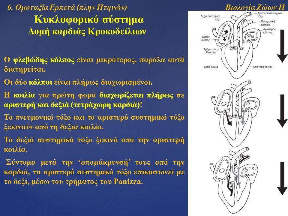 Βιολογία Ζώων ΙΙ Κυκλοφορικό σύστημα Δομή καρδιάς Κροκοδείλιων Ο φλεβώδης κόλπος είναι μικρότερος, παρόλα αυτά διατηρείται. Οι δύο κόλποι είναι πλήρως