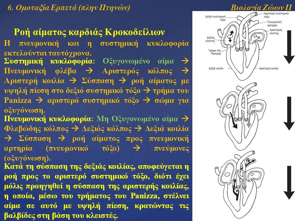 Βιολογία Ζώων ΙΙ Ροή αίματος καρδιάς Κροκοδείλιων Η πνευμονική και η συστημική κυκλοφορία εκτελούνται ταυτόχρονα. Συστημική κυκλοφορία: Οξυγονωμένο αί