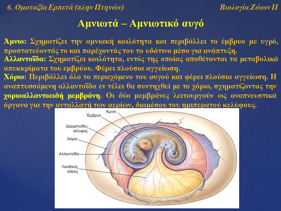 Βιολογία Ζώων ΙΙ Αμνιωτά – Αμνιωτικό αυγό Άμνιο: Σχηματίζει την αμνιακή κοιλότητα και περιβάλλει το έμβρυο με υγρό, προστατεύοντάς το και παρέχοντάς τ