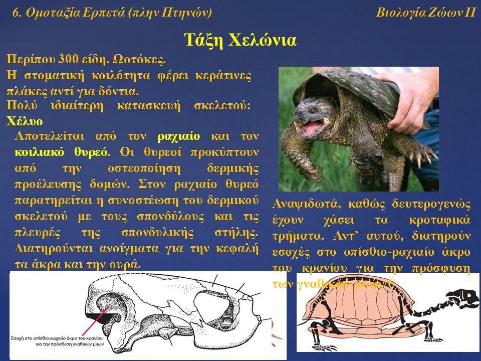 Τάξη Χελώνια Βιολογία Ζώων ΙΙ6. Ομοταξία Ερπετά (πλην Πτηνών) Η στοματική κοιλότητα φέρει κεράτινες πλάκες αντί για δόντια. Πολύ ιδιαίτερη κατασκευή σ