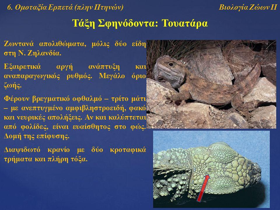 Τάξη Σφηνόδοντα: Τουατάρα Βιολογία Ζώων ΙΙ6. Ομοταξία Ερπετά (πλην Πτηνών) Ζωντανά απολιθώματα, μόλις δύο είδη στη Ν. Ζηλανδία. Εξαιρετικά αργή ανάπτυ