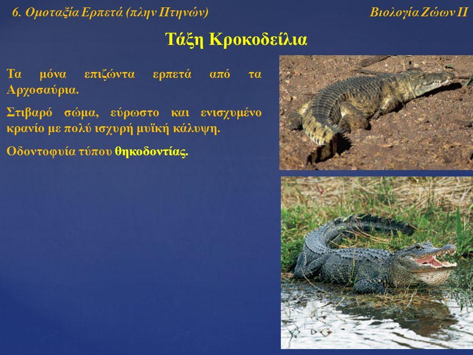 Τάξη Κροκοδείλια Βιολογία Ζώων ΙΙ6. Ομοταξία Ερπετά (πλην Πτηνών) Τα μόνα επιζώντα ερπετά από τα Αρχοσαύρια. Οδοντοφυία τύπου θηκοδοντίας. Στιβαρό σώμ