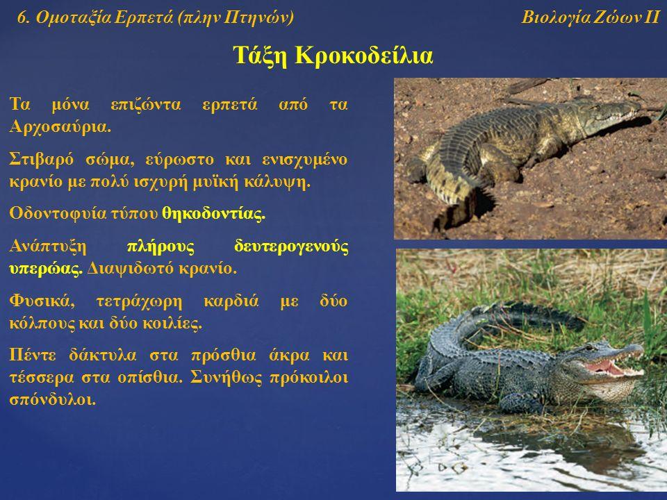 Τάξη Κροκοδείλια Βιολογία Ζώων ΙΙ6. Ομοταξία Ερπετά (πλην Πτηνών) Τα μόνα επιζώντα ερπετά από τα Αρχοσαύρια. Οδοντοφυία τύπου θηκοδοντίας. Ανάπτυξη πλ