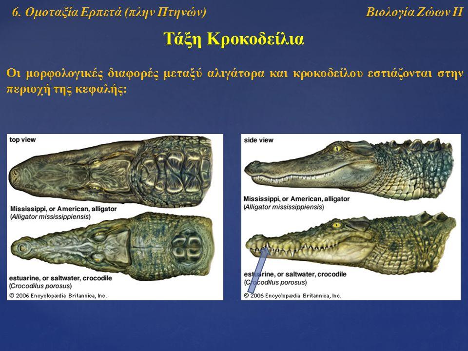 Τάξη Κροκοδείλια Βιολογία Ζώων ΙΙ6. Ομοταξία Ερπετά (πλην Πτηνών) Οι μορφολογικές διαφορές μεταξύ αλιγάτορα και κροκοδείλου εστιάζονται στην περιοχή τ