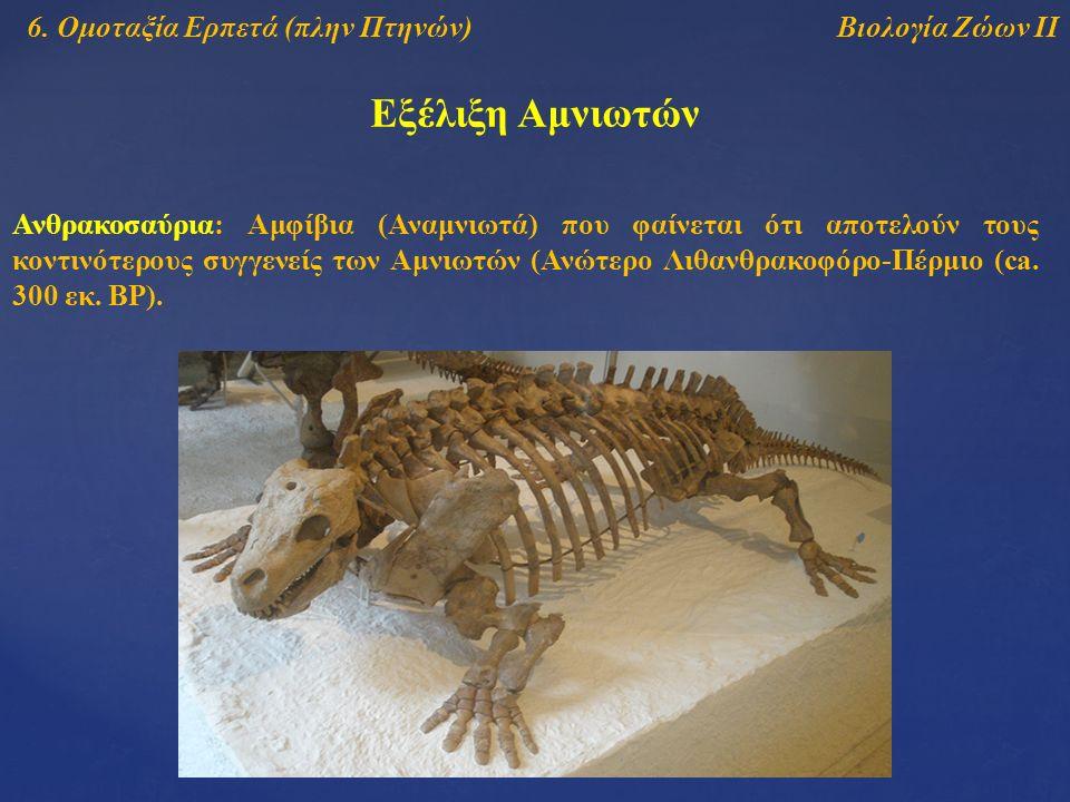 Βιολογία Ζώων ΙΙ Εξέλιξη Αμνιωτών 6. Ομοταξία Ερπετά (πλην Πτηνών) Ανθρακοσαύρια: Αμφίβια (Αναμνιωτά) που φαίνεται ότι αποτελούν τους κοντινότερους συ