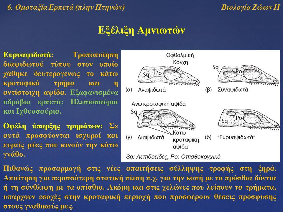 Βιολογία Ζώων ΙΙ Εξέλιξη Αμνιωτών 6. Ομοταξία Ερπετά (πλην Πτηνών) Ευρυαψιδωτά: Τροποποίηση διαψιδωτού τύπου στον οποίο χάθηκε δευτερογενώς το κάτω κρ