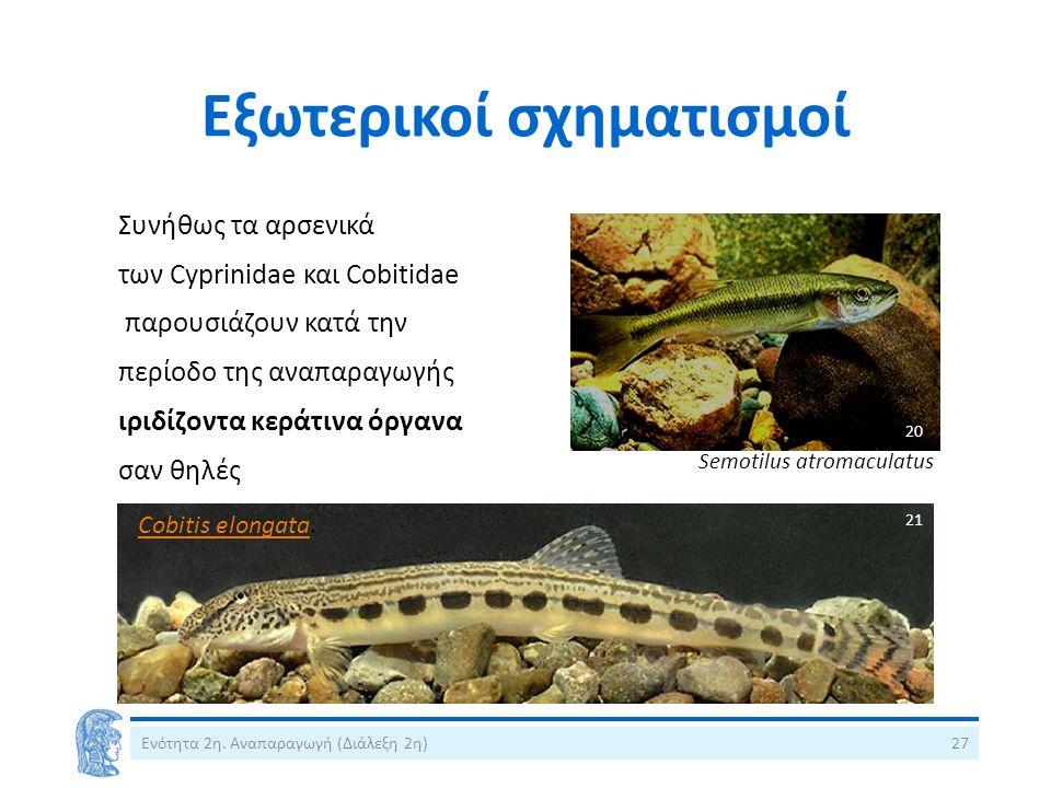 Εξωτερικοί σχηματισμοί Ενότητα 2η. Αναπαραγωγή (Διάλεξη 2η)27 Συνήθως τα αρσενικά των Cyprinidae και Cobitidae παρουσιάζουν κατά την περίοδο της αναπα
