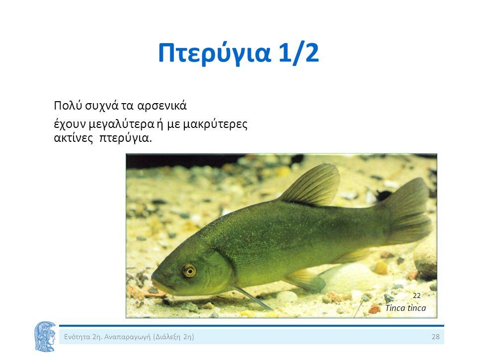 Πτερύγια 1/2 Πολύ συχνά τα αρσενικά έχουν μεγαλύτερα ή με μακρύτερες ακτίνες πτερύγια. Ενότητα 2η. Αναπαραγωγή (Διάλεξη 2η)28 Tinca tinca 22