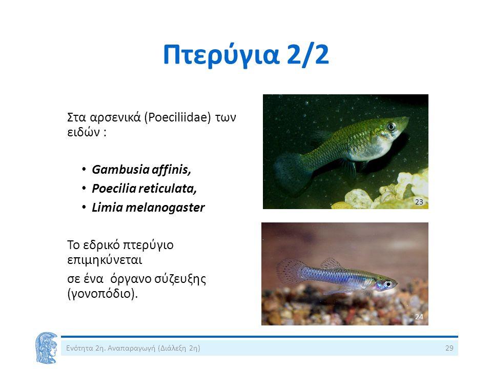 Πτερύγια 2/2 Ενότητα 2η. Αναπαραγωγή (Διάλεξη 2η)29 Στα αρσενικά (Poeciliidae) των ειδών : Gambusia affinis, Poecilia reticulata, Limia melanogaster Τ