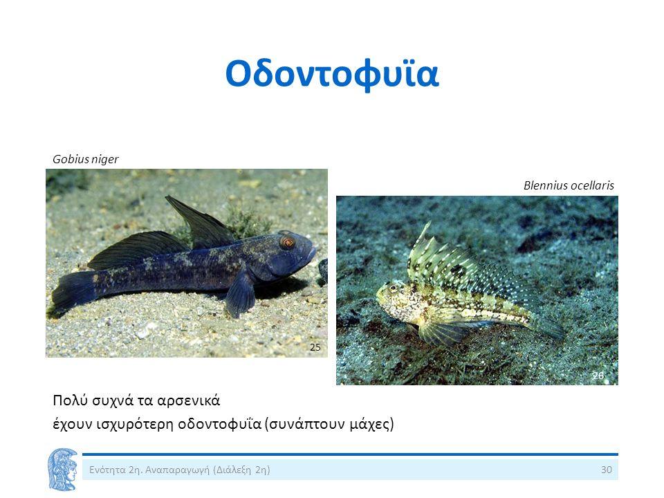 Οδοντοφυϊα Ενότητα 2η. Αναπαραγωγή (Διάλεξη 2η)30 Gobius niger Blennius ocellaris Πολύ συχνά τα αρσενικά έχουν ισχυρότερη οδοντοφυΐα (συνάπτουν μάχες)