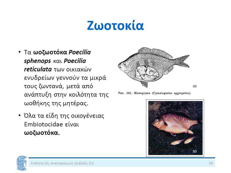 Ζωοτοκία Ενότητα 2η. Αναπαραγωγή (Διάλεξη 2η)56 Τα ωοζωοτόκα Poecilia sphenops και Poecilia reticulata των οικιακών ενυδρείων γεννούν τα μικρά τους ζω