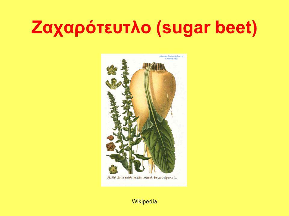 Ζαχαρότευτλο (sugar beet) Wikipedia