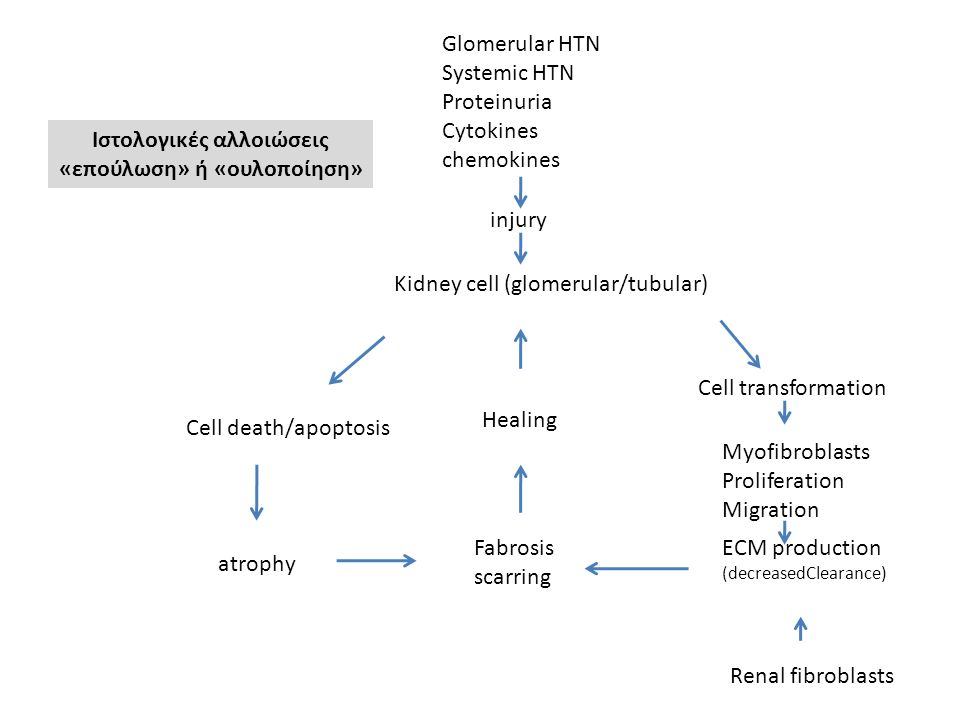 Glomerular HTN Systemic HTN Proteinuria Cytokines chemokines injury Kidney cell (glomerular/tubular) Cell death/apoptosis atrophy Fabrosis scarring Ce