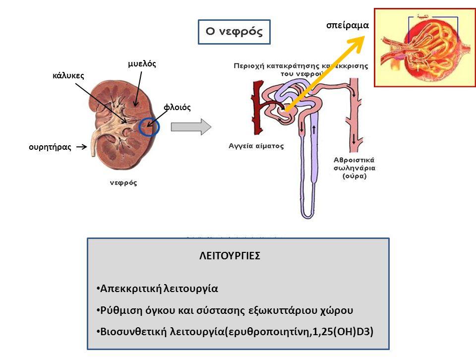 Απεκκριτική λειτουργία Ρύθμιση όγκου και σύστασης εξωκυττάριου χώρου Βιοσυνθετική λειτουργία(ερυθροποιητίνη,1,25(OH)D3) ΛΕΙΤΟΥΡΓΙΕΣ φλοιός μυελός κάλυκες ουρητήρας σπείραμα