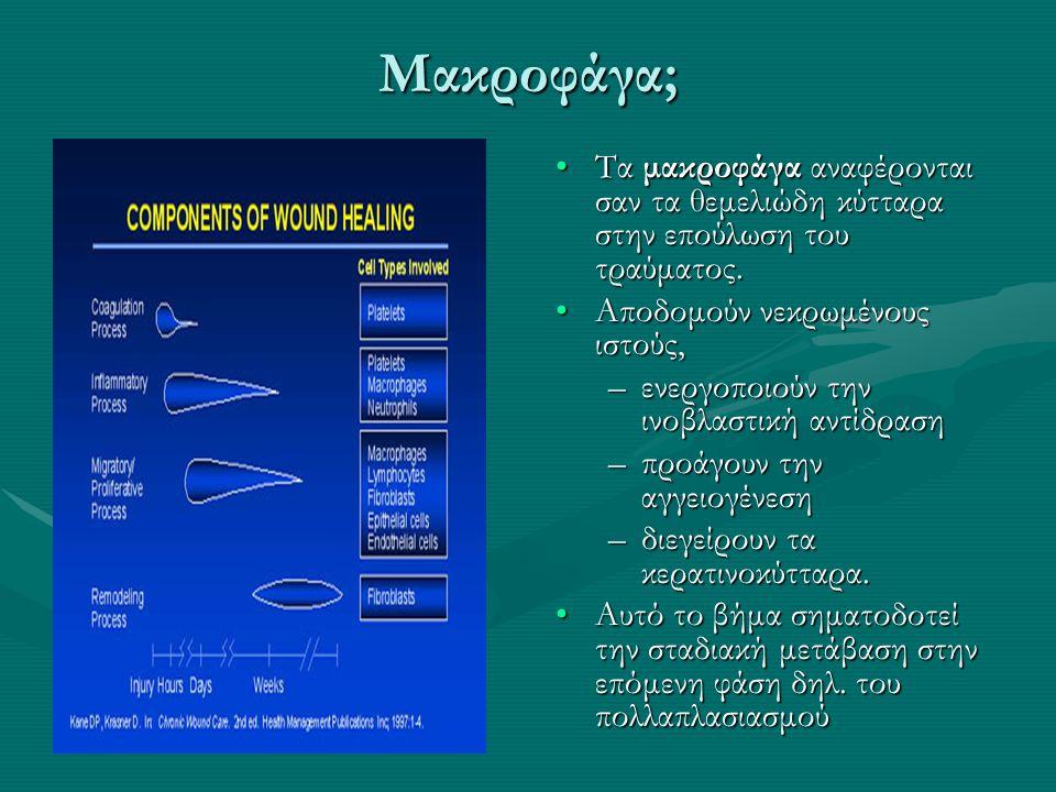 Τα μακροφάγα αναφέρονται σαν τα θεμελιώδη κύτταρα στην επούλωση του τραύματος.