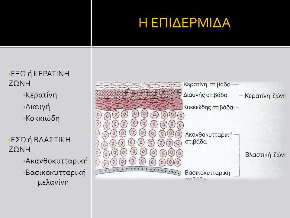 Η ΕΠΙΔΕΡΜΙΔΑ ΕΞΩ ή ΚΕΡΑΤΙΝΗ ΖΩΝΗ Κερατίνη Διαυγή Κοκκιώδη ΕΣΩ ή ΒΛΑΣΤΙΚΗ ΖΩΝΗ Ακανθοκυτταρική Βασικοκυτταρική μελανίνη
