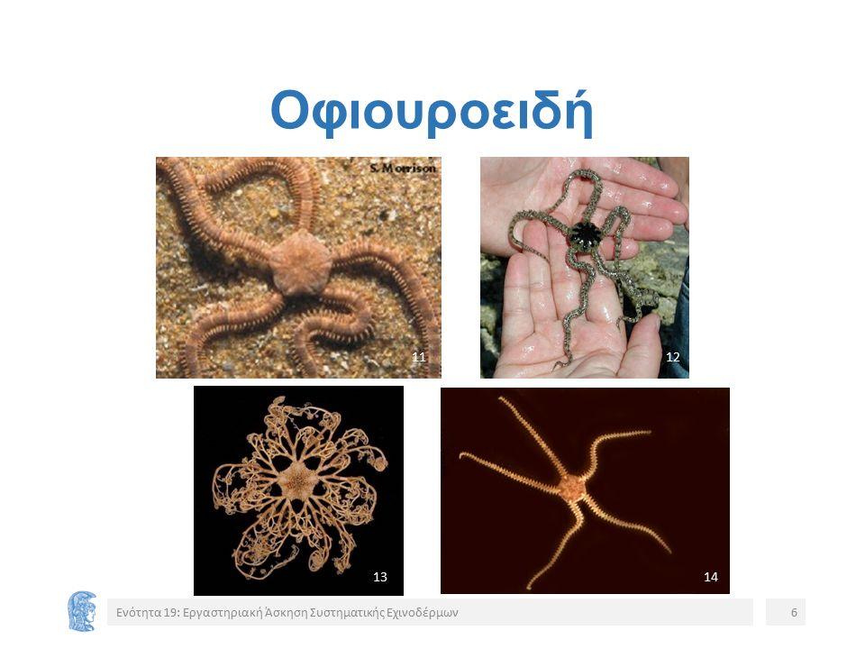 Οφιουροειδή Ενότητα 19: Εργαστηριακή Άσκηση Συστηματικής Εχινοδέρμων6 1112 1314