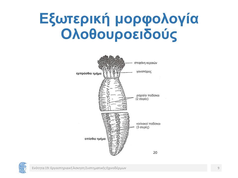 Εξωτερική μορφολογία Ολοθουροειδούς Ενότητα 19: Εργαστηριακή Άσκηση Συστηματικής Εχινοδέρμων9 20