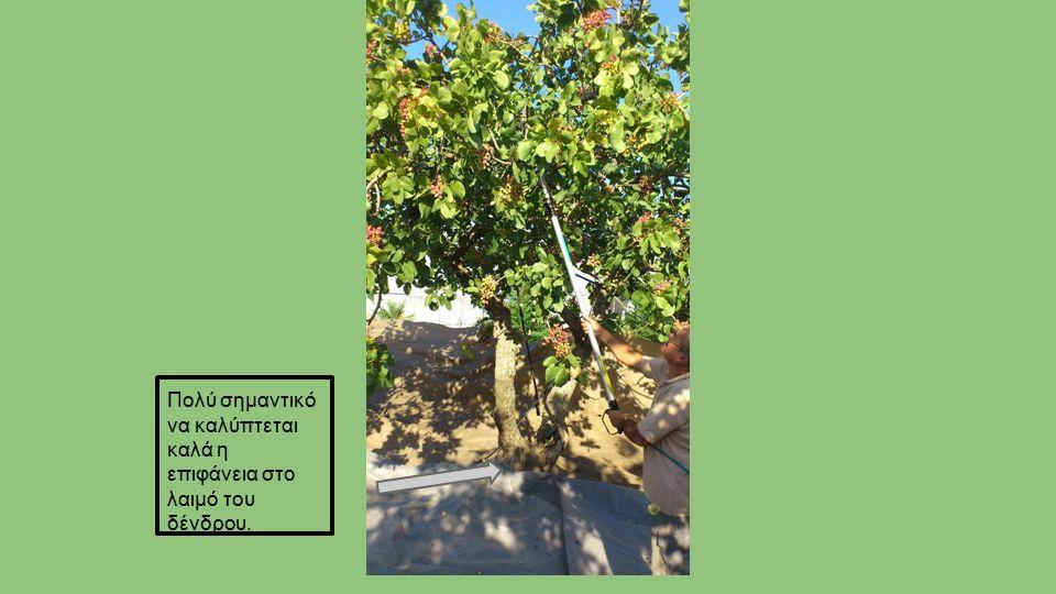 Πολύ σημαντικό να καλύπτεται καλά η επιφάνεια στο λαιμό του δένδρου.
