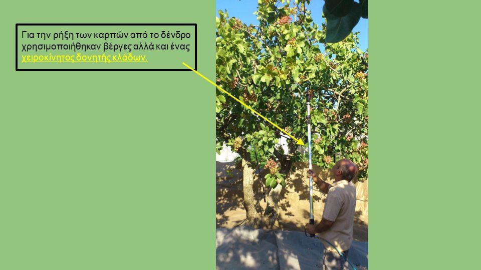 Για την ρήξη των καρπών από το δένδρο χρησιμοποιήθηκαν βέργες αλλά και ένας χειροκίνητος δονητής κλάδων.