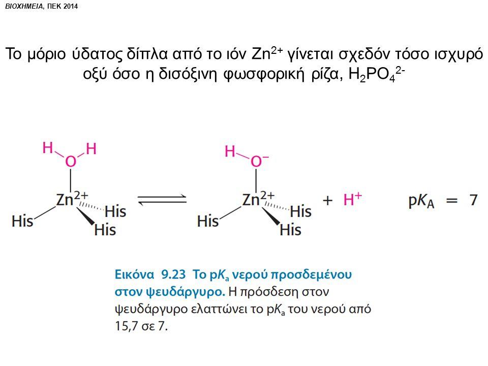 Το μόριο ύδατος δίπλα από το ιόν Zn 2+ γίνεται σχεδόν τόσο ισχυρό οξύ όσο η δισόξινη φωσφορική ρίζα, Η 2 ΡΟ 4 2-