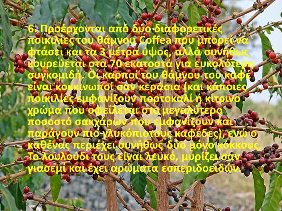6. Προέρχονται από δύο διαφορετικές ποικιλίες του θάμνου Coffea που μπορεί να φτάσει και τα 3 μέτρα ύψος, αλλά συνήθως κουρεύεται στα 70 εκατοστά για