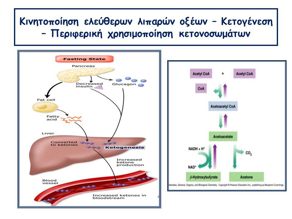 Κινητοποίηση ελεύθερων λιπαρών οξέων – Κετογένεση – Περιφερική χρησιμοποίηση κετονοσωμάτων