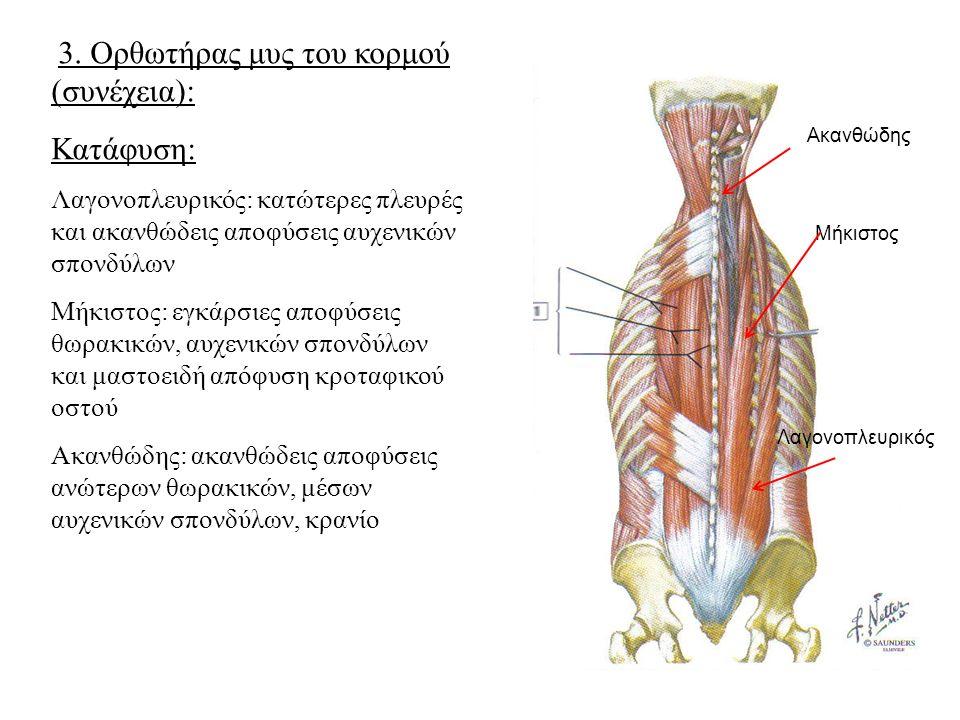 3. Ορθωτήρας μυς του κορμού (συνέχεια): Κατάφυση: Λαγονοπλευρικός: κατώτερες πλευρές και ακανθώδεις αποφύσεις αυχενικών σπονδύλων Μήκιστος: εγκάρσιες