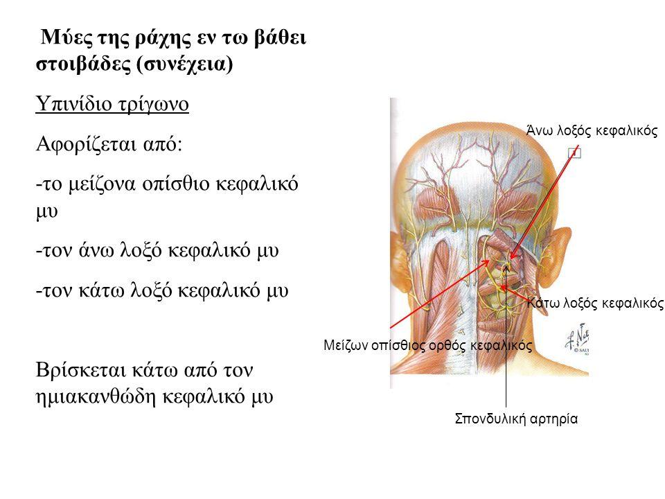Μύες της ράχης εν τω βάθει στοιβάδες (συνέχεια) Υπινίδιο τρίγωνο Αφορίζεται από: -το μείζονα οπίσθιο κεφαλικό μυ -τον άνω λοξό κεφαλικό μυ -τον κάτω λοξό κεφαλικό μυ Βρίσκεται κάτω από τον ημιακανθώδη κεφαλικό μυ Άνω λοξός κεφαλικός Κάτω λοξός κεφαλικός Μείζων οπίσθιος ορθός κεφαλικός Σπονδυλική αρτηρία