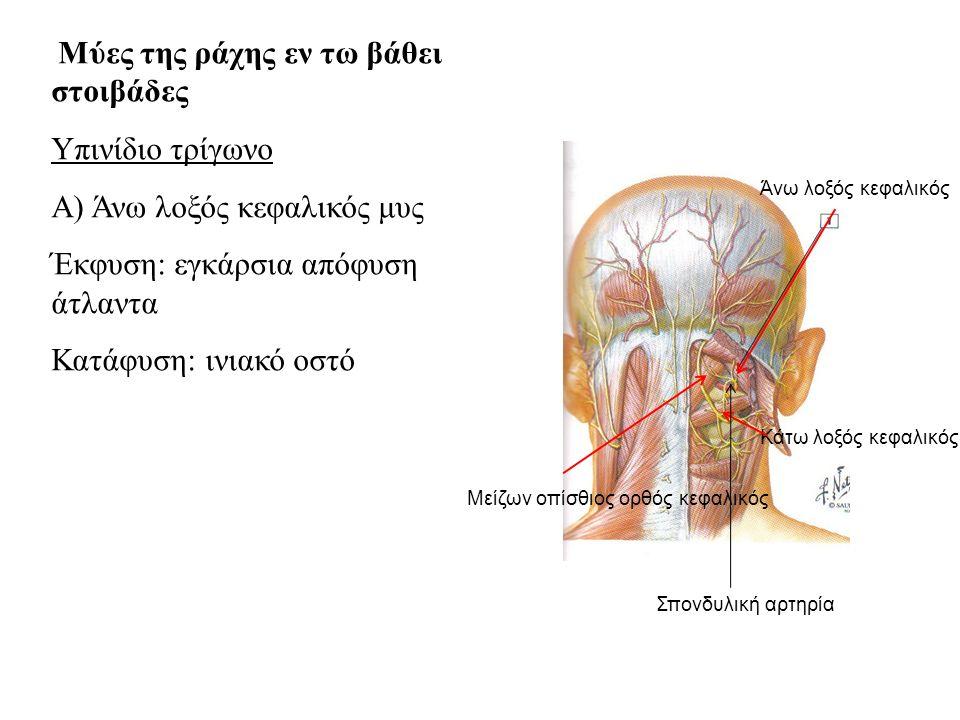 Μύες της ράχης εν τω βάθει στοιβάδες Υπινίδιο τρίγωνο Α) Άνω λοξός κεφαλικός μυς Έκφυση: εγκάρσια απόφυση άτλαντα Κατάφυση: ινιακό οστό Άνω λοξός κεφαλικός Κάτω λοξός κεφαλικός Μείζων οπίσθιος ορθός κεφαλικός Σπονδυλική αρτηρία