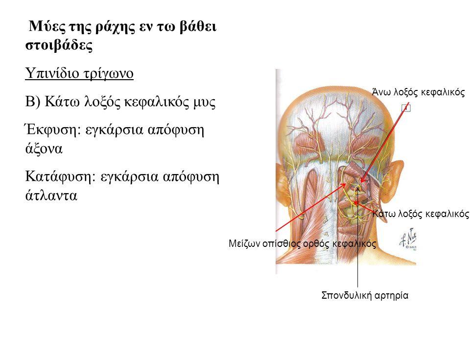 Μύες της ράχης εν τω βάθει στοιβάδες Υπινίδιο τρίγωνο Β) Κάτω λοξός κεφαλικός μυς Έκφυση: εγκάρσια απόφυση άξονα Κατάφυση: εγκάρσια απόφυση άτλαντα Άνω λοξός κεφαλικός Κάτω λοξός κεφαλικός Μείζων οπίσθιος ορθός κεφαλικός Σπονδυλική αρτηρία